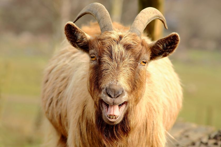goat-mouth-open-teeth.jpg.838x0_q80